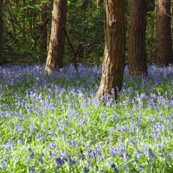 Bluebell-WoodA