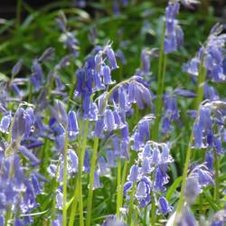 Bluebells-WoodlandA