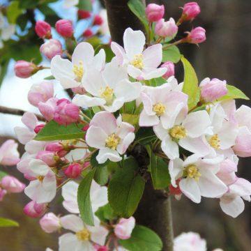 Blossom-12